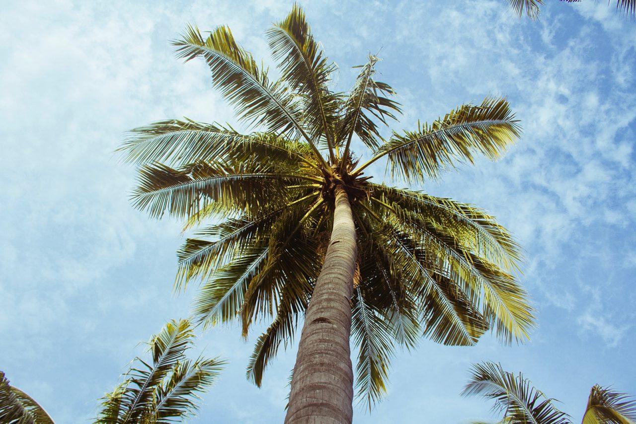Kokosnuss, Kokosöl gesund